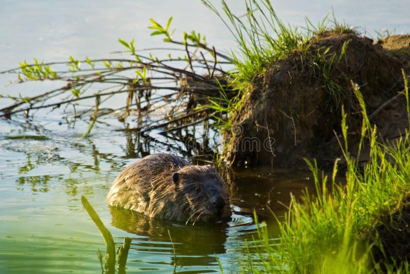 Castor no rio fotos de stock