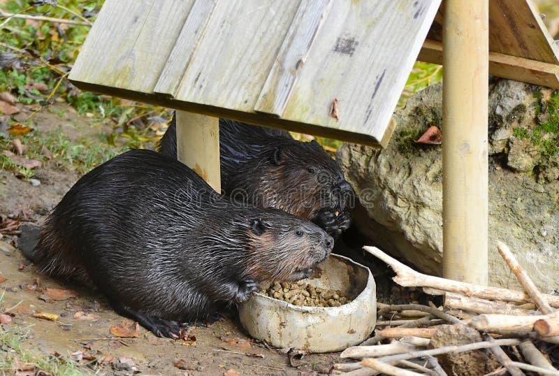 Castor norte-americano, canadensis do rodízio, comendo o alimento fotos de stock