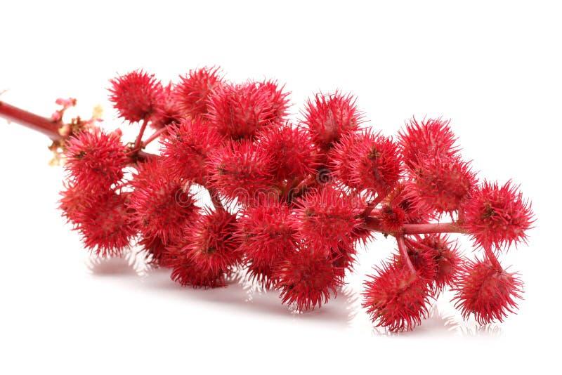 Castor-oil λουλούδια φυτών στοκ φωτογραφίες