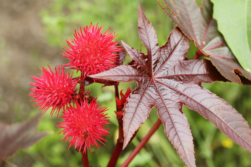 Castor oil plant royalty free stock images