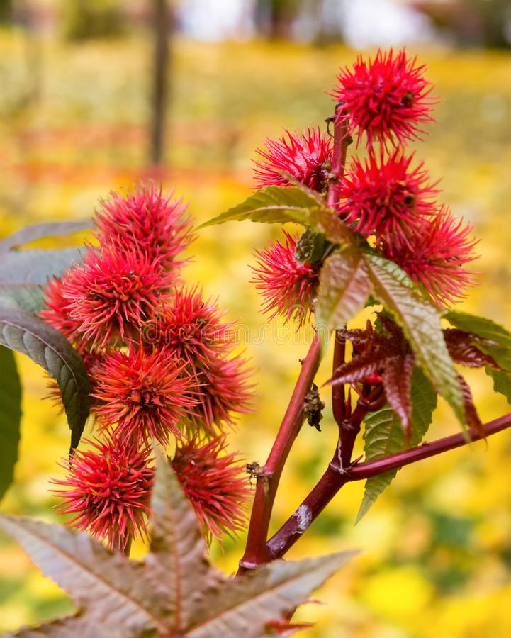 Castor-oil plant burgundy red close-up, spiked fruit with figured leaves royalty free stock photography