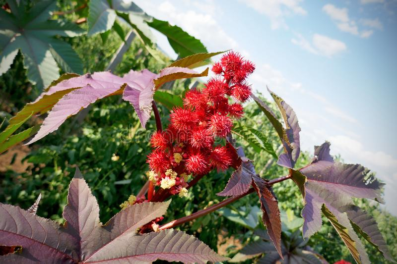 Castor oil plant with red prickly fruits and colorful leaves. Ornamental plant stock photography