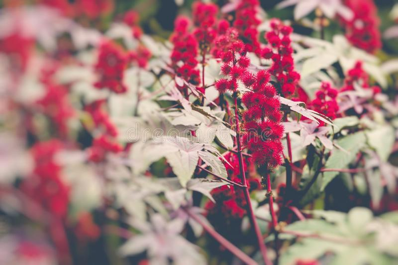 Castor oil plant with red prickly fruits and colorful leaves. Selective Focus royalty free stock photography