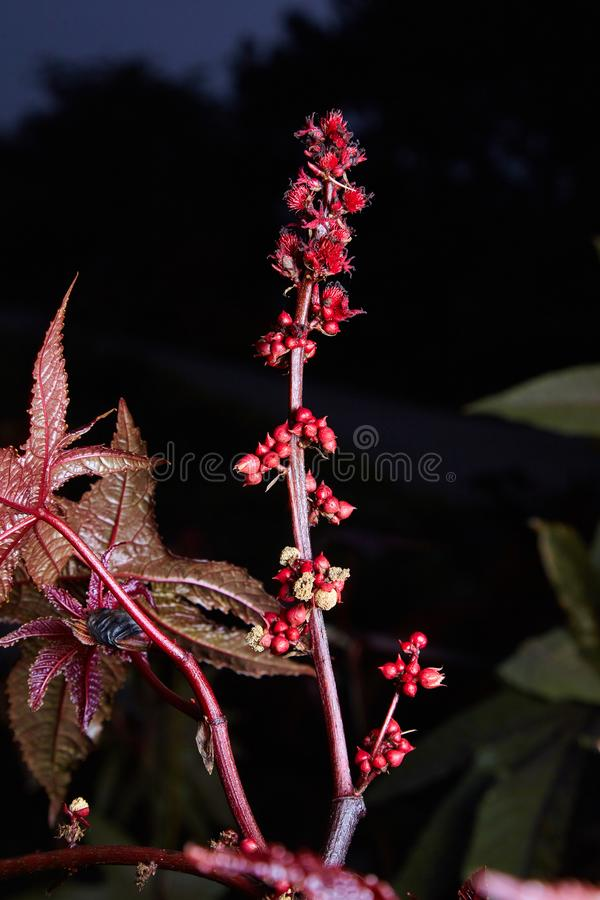 Castor oil plant with red prickly fruits on a dark background. stock photography
