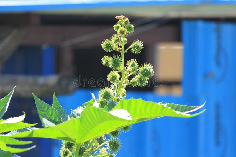 Castor oil seeds stock images