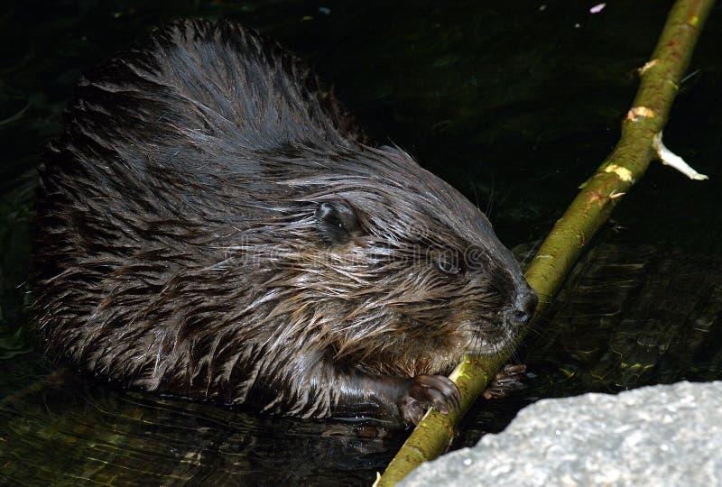 Castor que come la ramificación de árbol en agua fotografía de archivo libre de regalías
