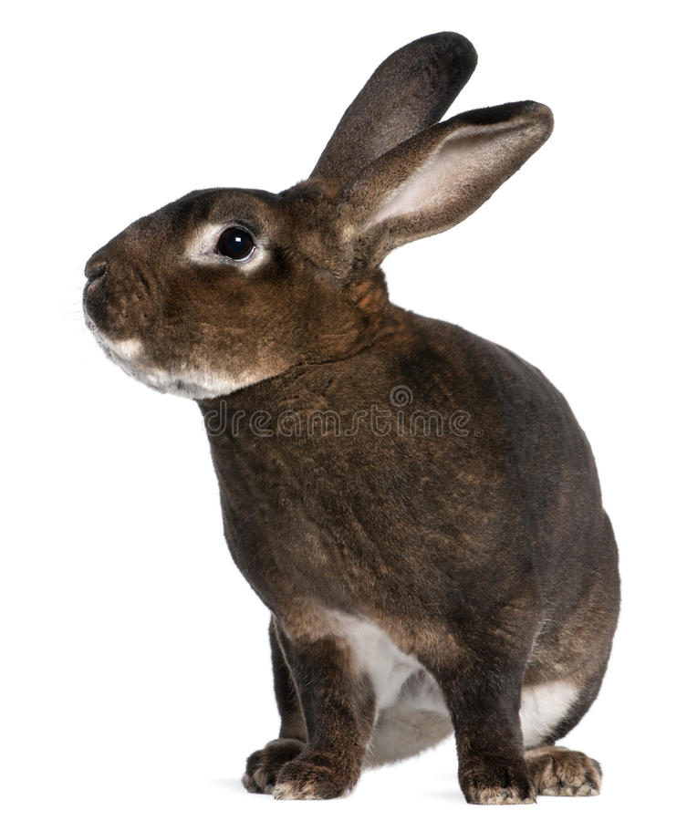 Download Castor Rex rabbit stock image. Image of ears, indoors - 18258005
