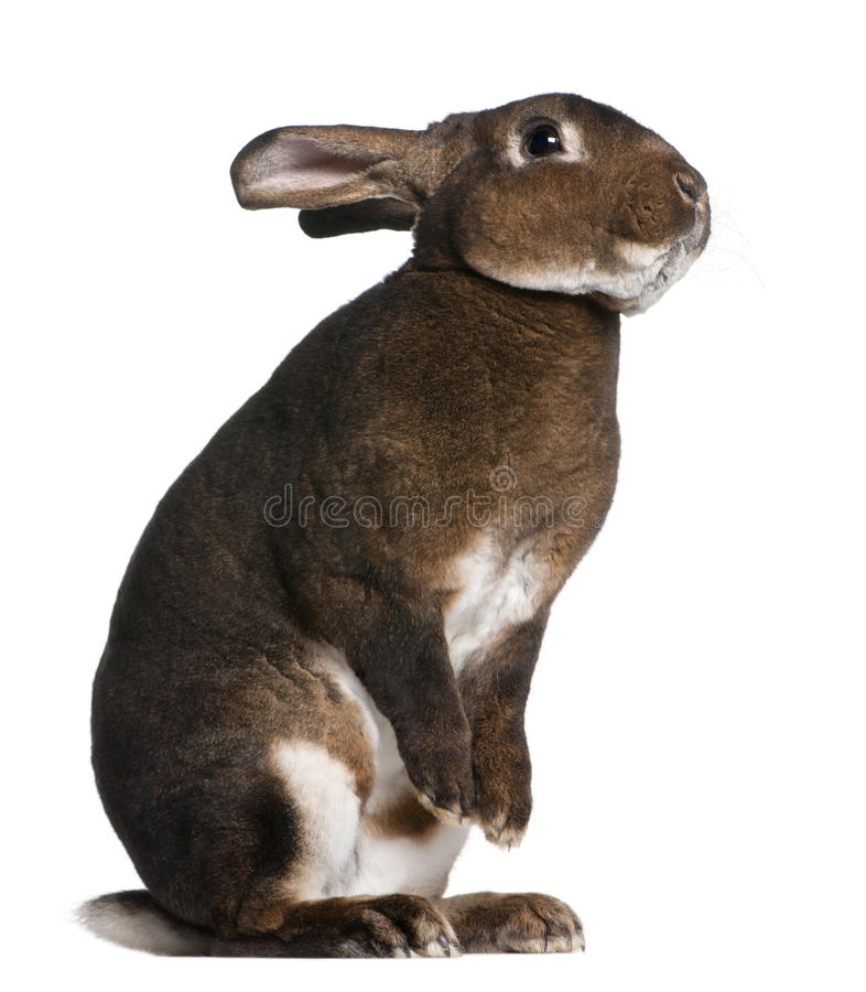 Castor Rex rabbit standing on hind legs. In front of white background royalty free stock images