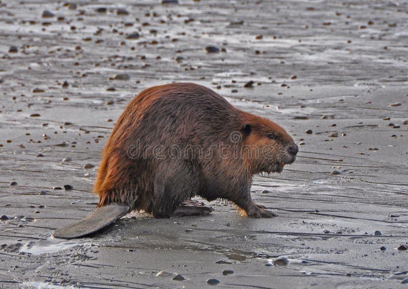 Castor sur la plage photographie stock libre de droits