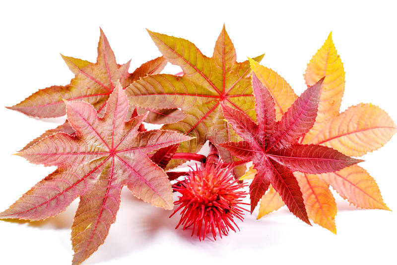 Castorbean Rycynowy - nafciana roślina, Ricinus communis obrazy royalty free