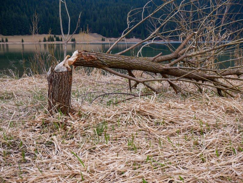 Castors coupant en bas des arbres près d'un beau lac propre en cristal images libres de droits
