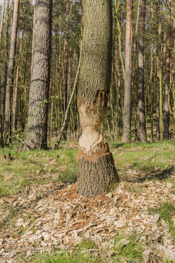 Castors rongés par arbre photographie stock libre de droits