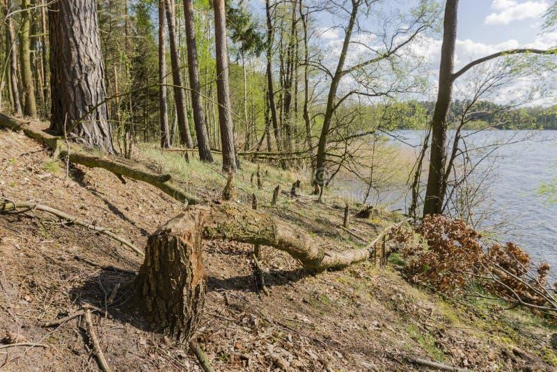 Castors rongés par arbre image stock