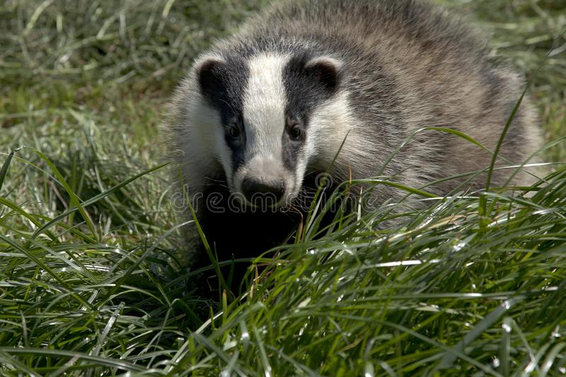 Casual meeting with a badger. Meles melesnThe badger is the largest land predator in the Netherlands. The badger belongs to the family of mustelids.nThe badger stock photography