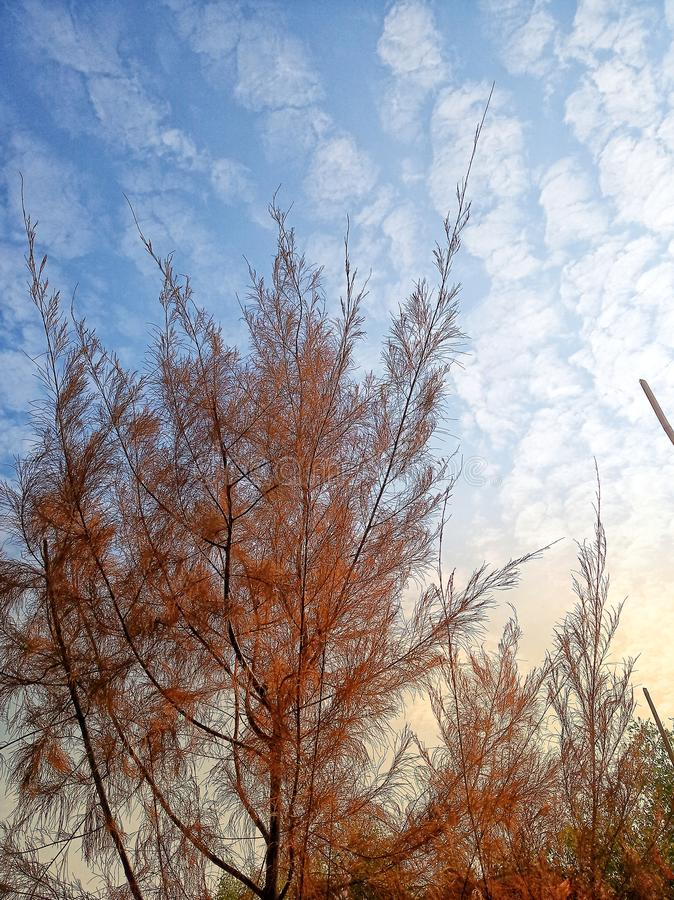 Casuarina tree at afternoon. Evening, sunset, plant, forest, sky, skylounge, skycloud, nature, mature, color, garden, wallpaper, background stock photography