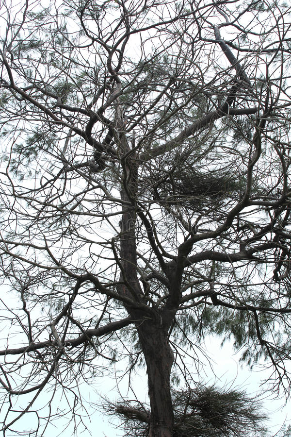 Casuarinaboom stock afbeeldingen