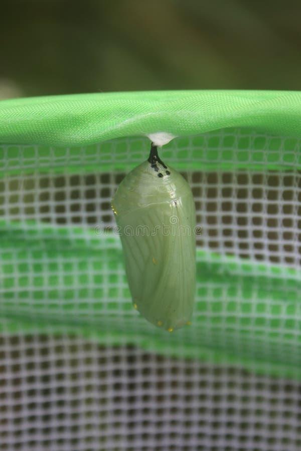 Casulo da borboleta de monarca imagem de stock