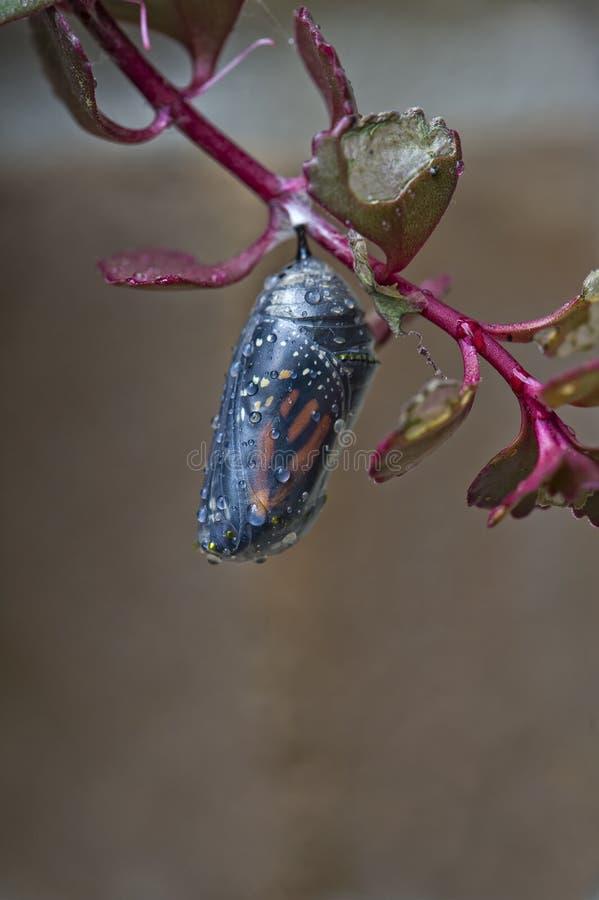 Casulo do monarca foto de stock royalty free