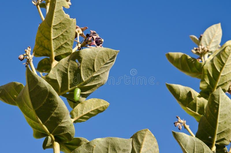 Casulo do verde da borboleta de monarca que pendura na folha da flor da coroa fotos de stock