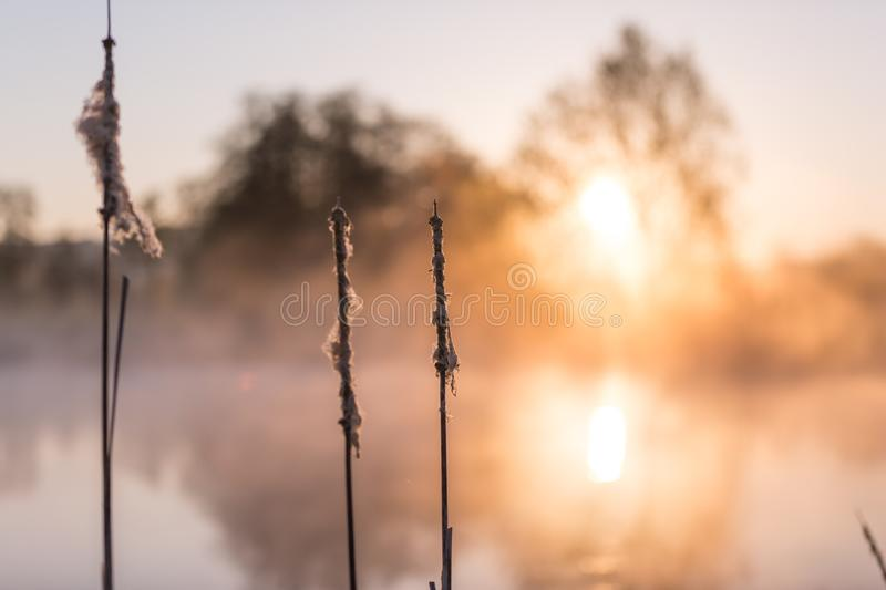 Cat's Tails in Rising Morning Sun Reflecting on Lake. Cat's Tails in Rising Morning Sun Reflecting on Mauensee Lake in Switzerland stock image