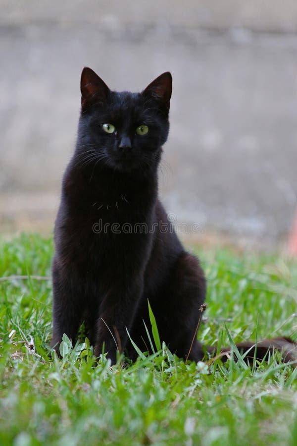 Cat,绿眼的女王/王后小姐 免版税库存图片