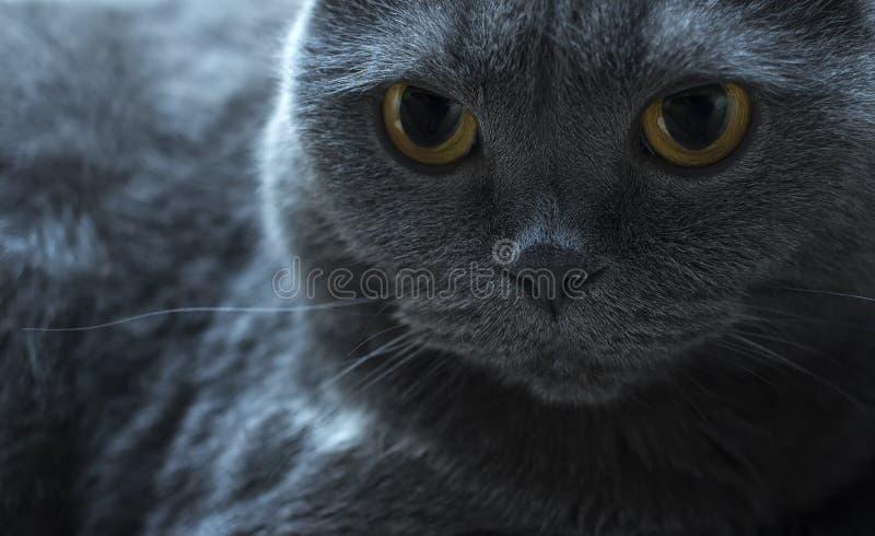 cat';s在边,蓝色英国折叠的面孔特写镜头 免版税图库摄影