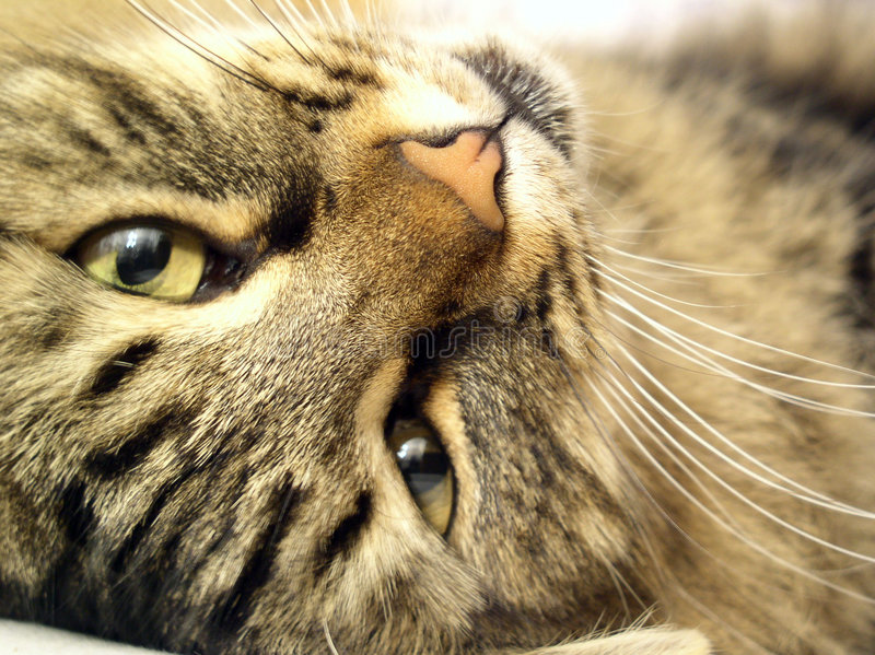 Download Cat #01 stock photo. Image of handsome, ears, fine, adorable - 4768204