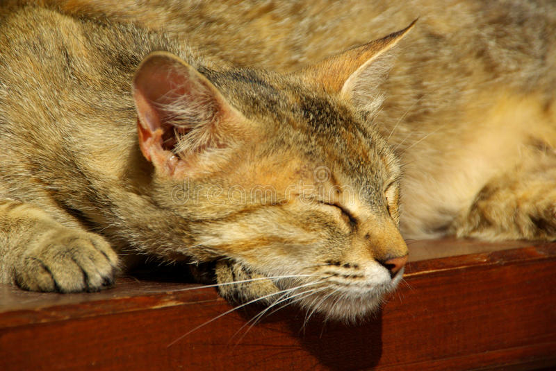 Download Cat stock image. Image of tired, slinking, brouwn, playful - 10186279