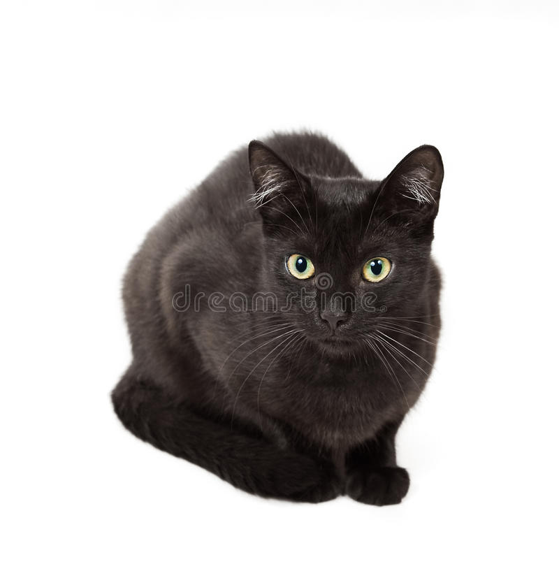 Cat. A black cat isolated on a white background royalty free stock images