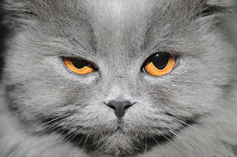 Cat. The cat with a long grey wool winks in a camera stock photo