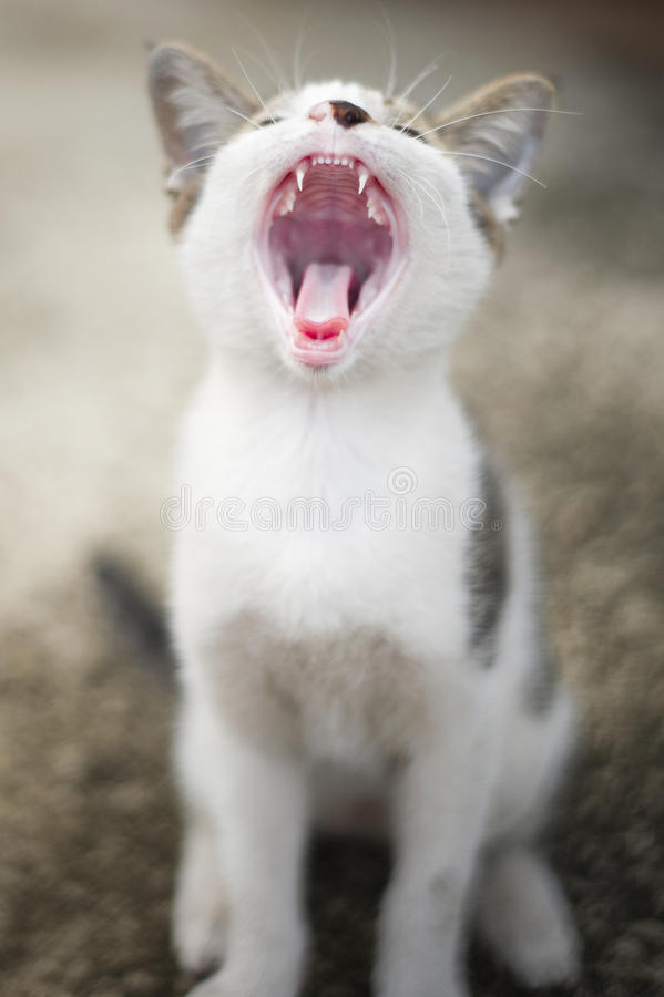 The cat. Yawning and the bokeh background stock image