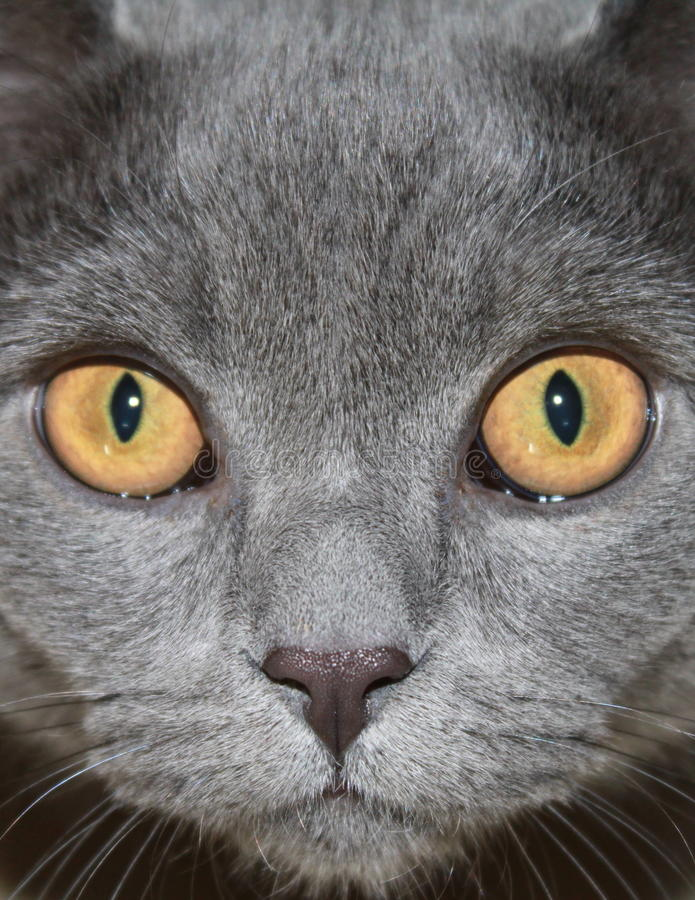 Cat. Young cat of the Scottish breed very beautiful stock image
