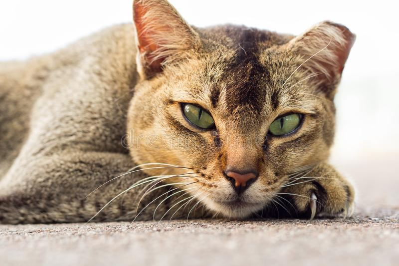 Light brown colour domestic stray cat with green eyes lying on the floor looking into the camera with white background. stock image
