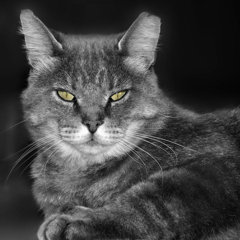 Cat. Close up of cat in black and white stock photos