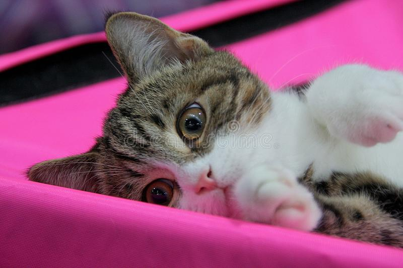 Download Cat stock image. Image of play, cats, gray, pets, animals - 14602349