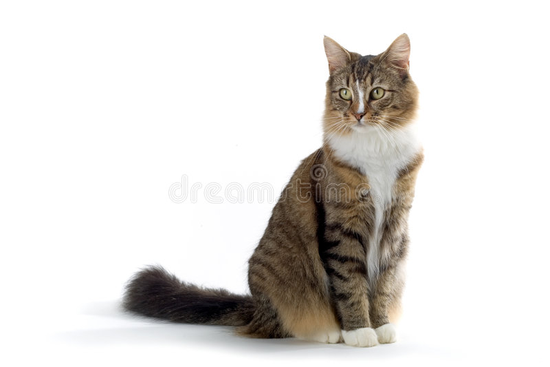 Cat. Norwegian forest cat sitting on the ground isolated on a white background