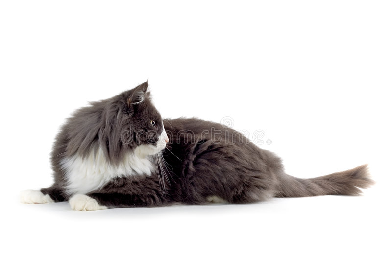 Cat. Norwegian forest cat looking sidewards and laying down stock photography