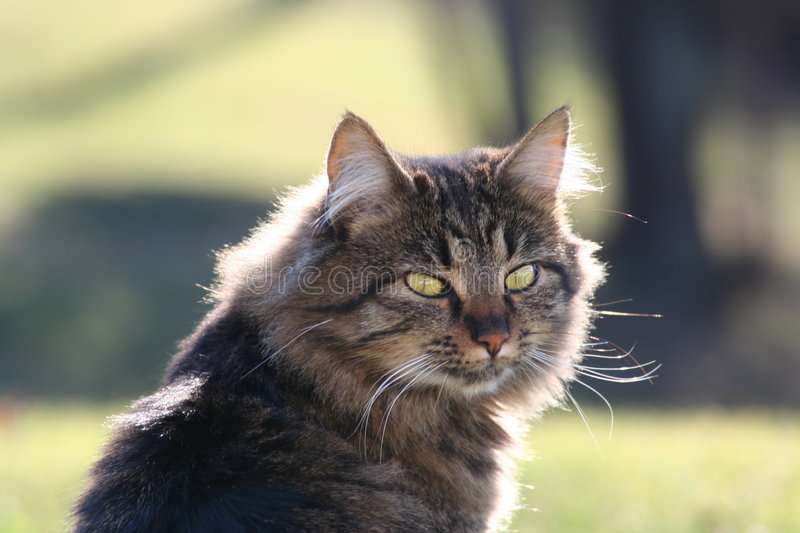 Download Cat stock image. Image of glow, meow, furry, kitty, purr - 1707883
