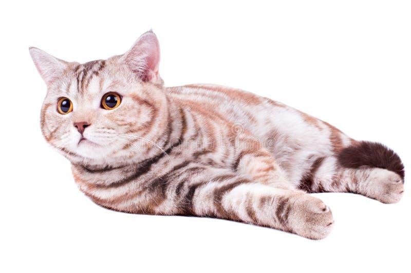Download Cat stock image. Image of breed, animal, horizontal, adult - 17428057