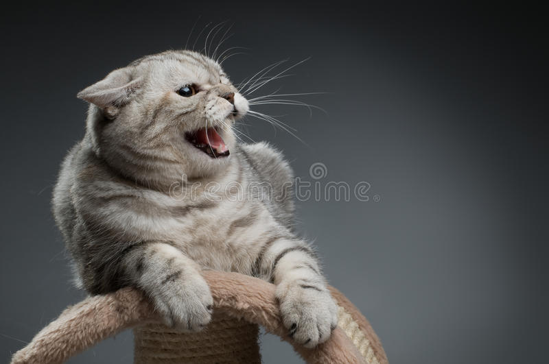 Cat. The photo very agressive cat, scottish-straight, on dark blue background stock images
