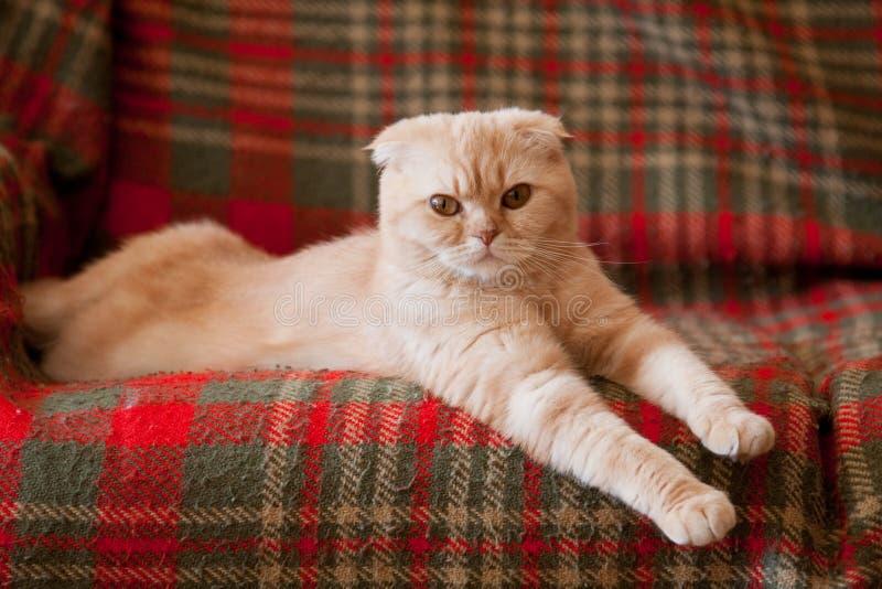 Download Cat stock photo. Image of animal, scottish, kitten, breed - 19143370
