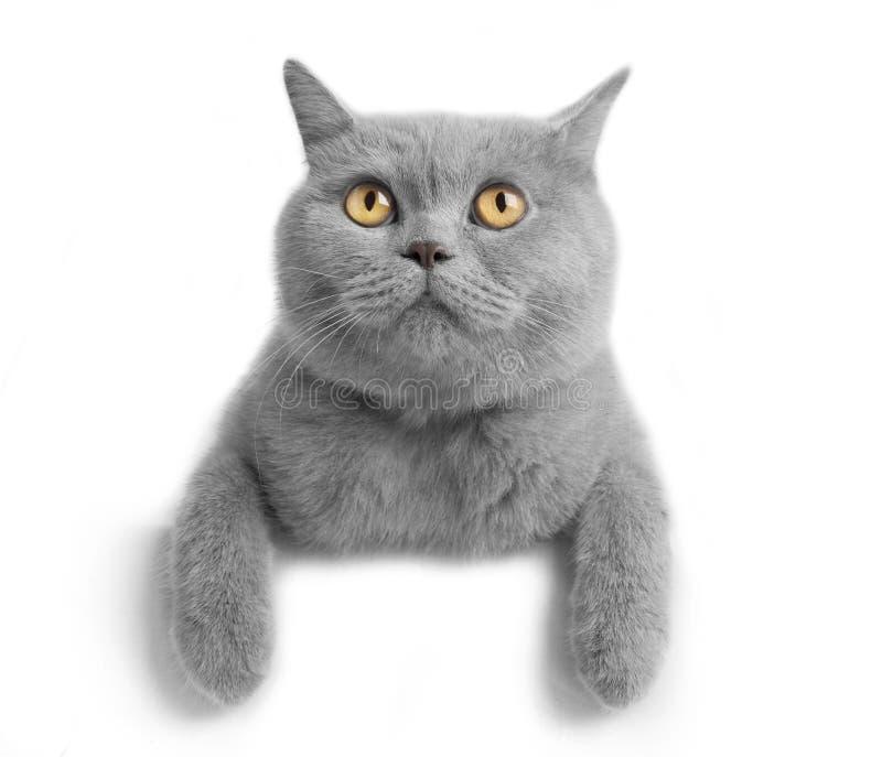 Cat. British cat on white background