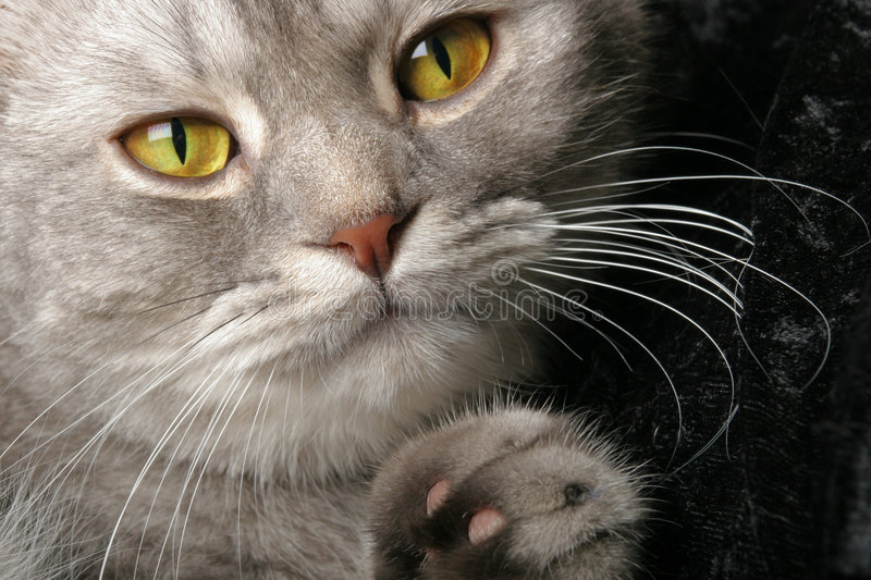 Cat. Close up of a cat with wide yellow eyes royalty free stock image