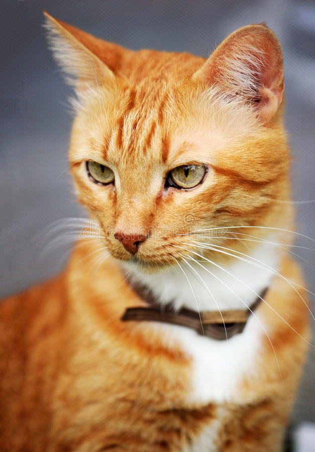 Cat. Portrait of tabby, ginger cat with a collar royalty free stock photos