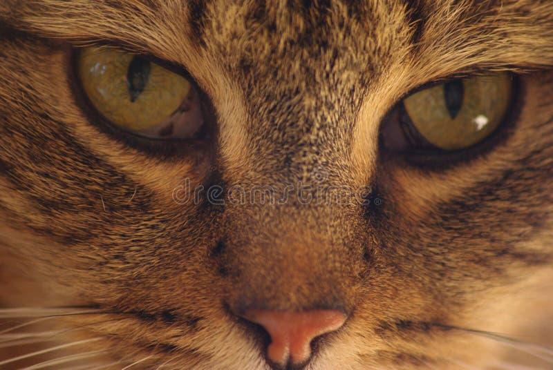 Download Cat stock photo. Image of gazes, cute, mammal, eyes, beautiful - 22475000