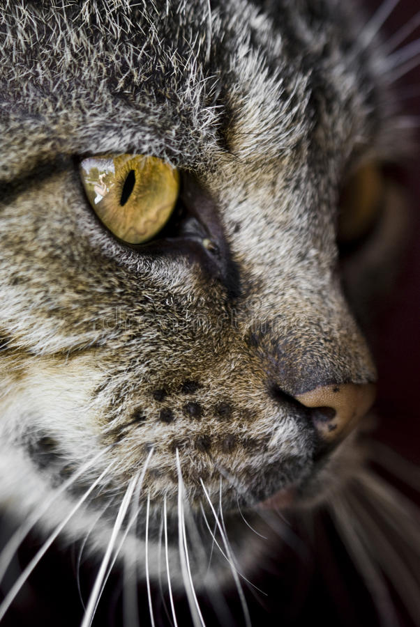 Download Cat stock photo. Image of ears, animal, brown, details - 25450922