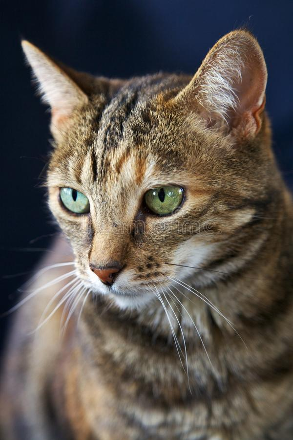 Download Cat stock image. Image of mammal, domestic, curious, eyes - 25589961