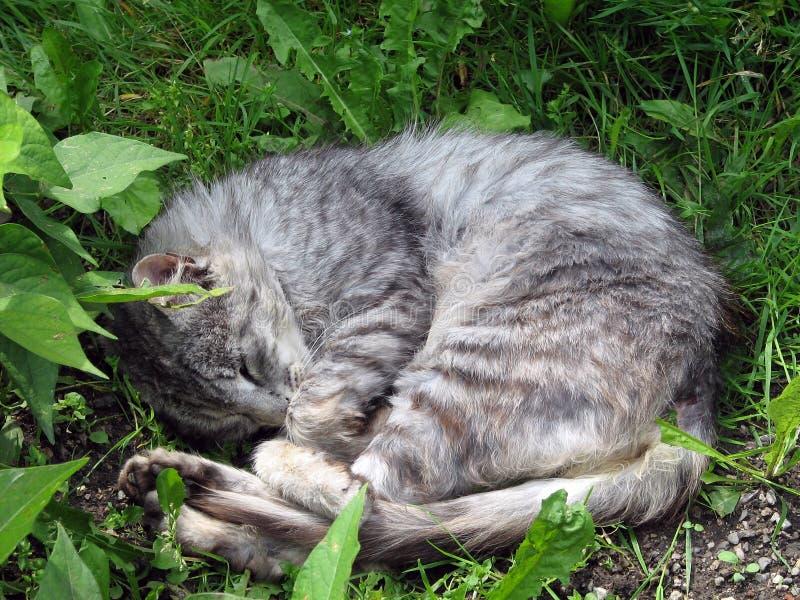 Download Cat stock image. Image of tomcat, domestic, sleeping - 25965485