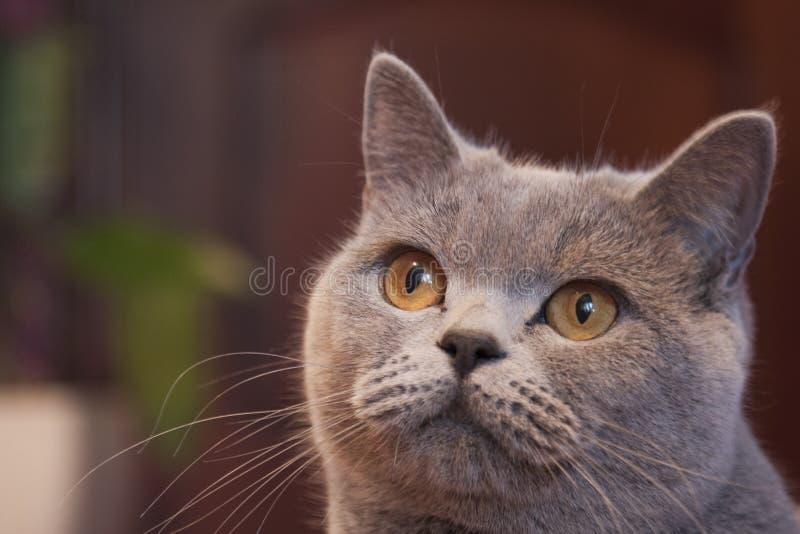 Download Cat stock photo. Image of animals, british, stride, puss - 25979402