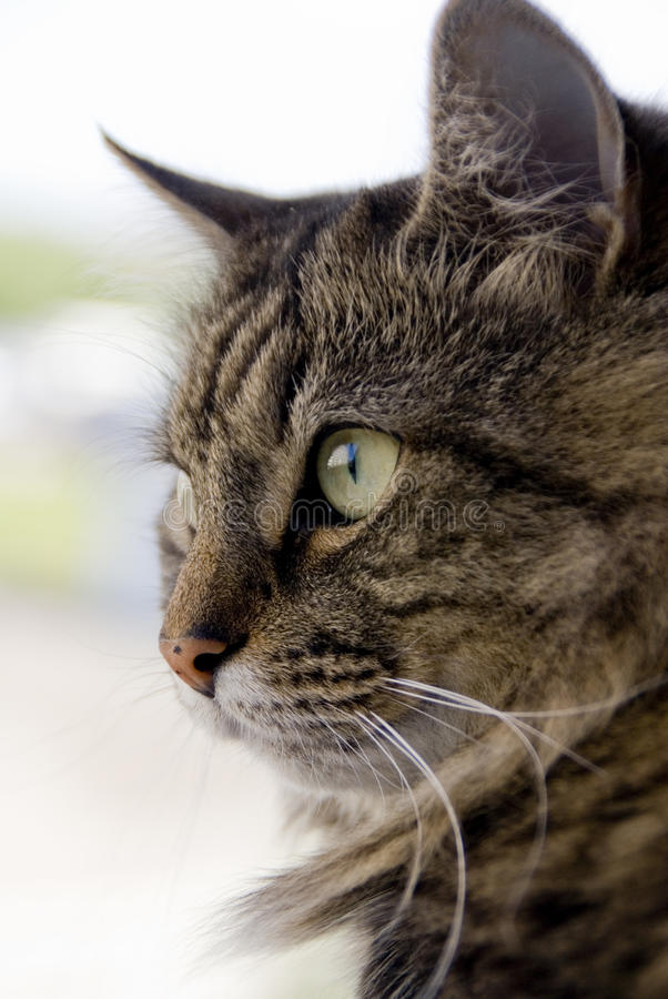 Download Cat stock image. Image of whiskers, eyes, kitty, siberian - 26007355